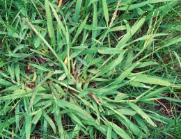 5 Common Grass Weeds in Texas